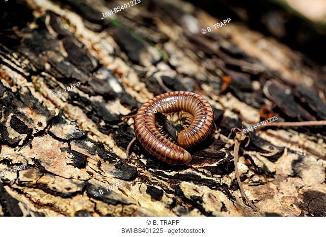 millepede (Diplopoda spec.), on bark, New Caledonia, Ile des Pins