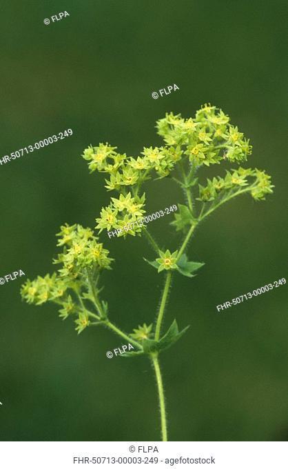 Lady's Mantle Alchemilla mollis Close-up of plant flowering