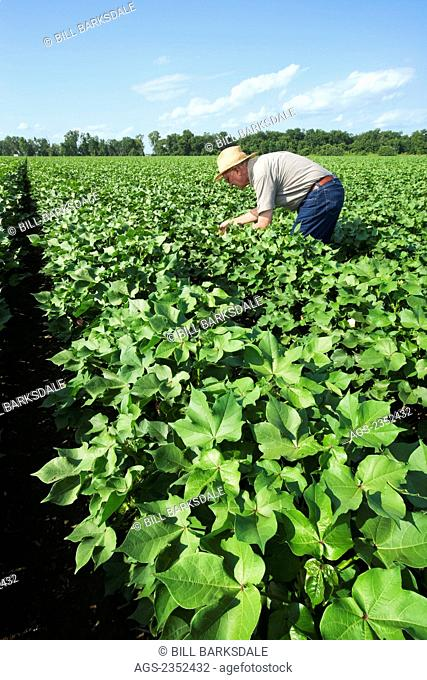 Agriculture - A crop consultant inspects a mid growth cotton crop in the advanced boll set stage for mid to late season insects / near England, Arkansas, USA