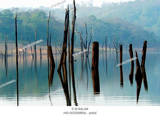 DEAD TREE STUMPS OF OVER 100 YEARS IN PERIYAR LAKE, THEKKADY