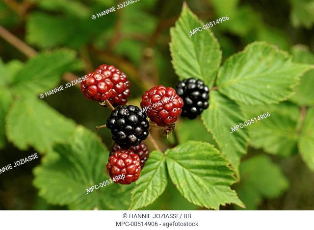 Shrubby Blackberry (Rubus fruticosus) fruits ripening, Burgh-Haamstede, Netherlands