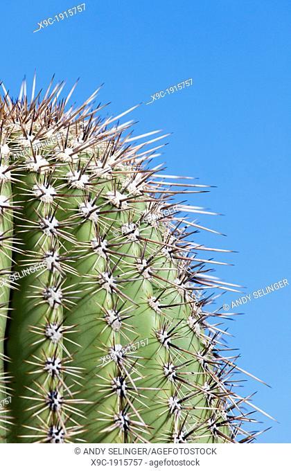 Close-up of a Cactus in Saguaro N P  , Arizona, USA