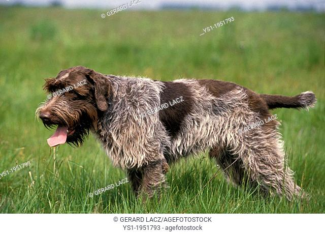 Korthal Dog or Wire-Haired Griffon Dog hunting
