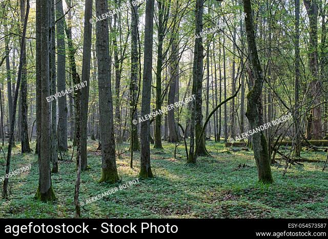 Deciduous forest with old oaks in springtime sunrise light, Bialowieza Forest, Poland, Europe