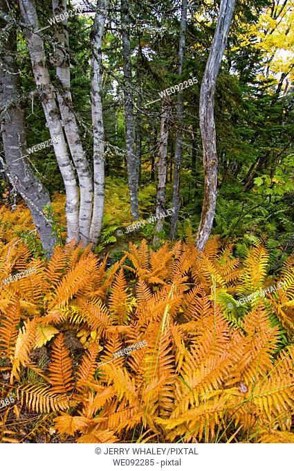Ferns, Cape Breton Highlands National Park, Cape Breton Island, Nova Scotia, Canada