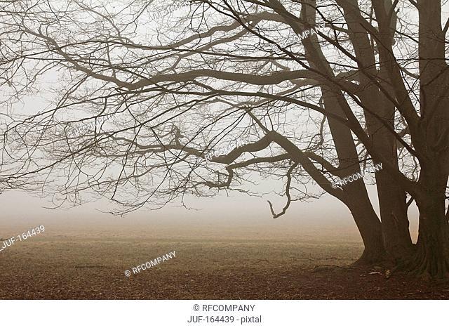 Beech - fog