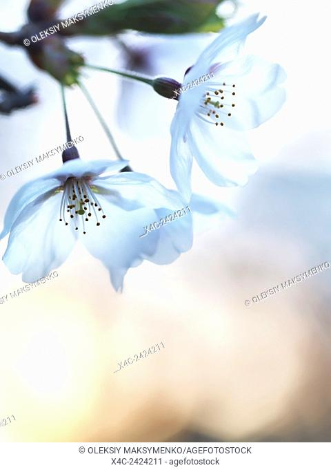 Artistic closeup of cherry blossom flower at sunrise with the sun in the background