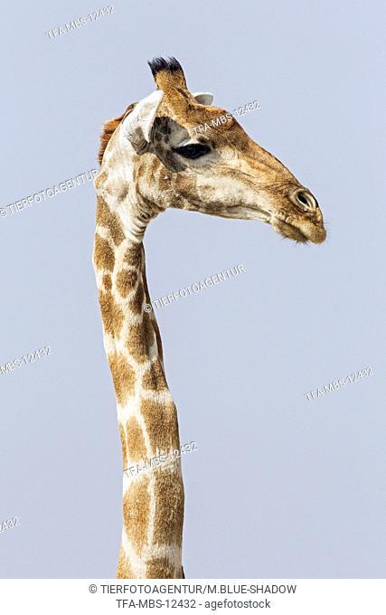 Angola Giraffe