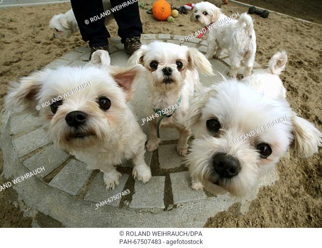 Malteser dogs waiting for new owners at the animal shelter in Wesel, Germany, 6 April 2016. The dogs were saved from a careless breeder