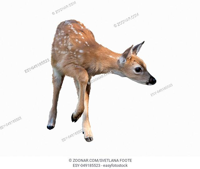White-tailed deer fawn isolated on white background