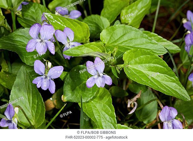 Tall Violet (Viola elatior) flowering, Bulgaria, June