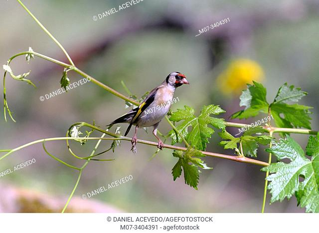 Goldfinch (Carduelis carduelis), North of Spain