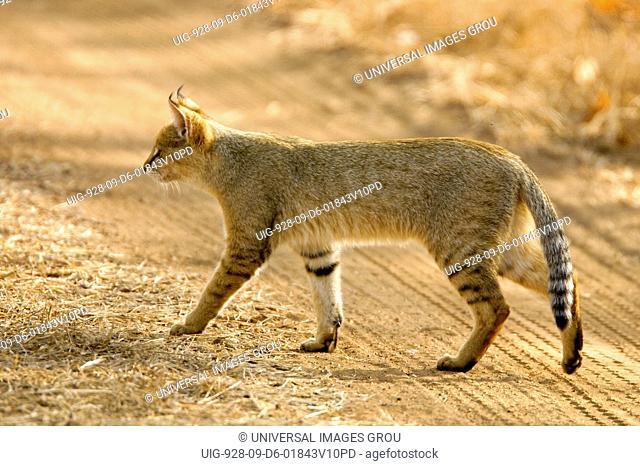 Jungle Cat Felis Chaus Walking, Ranthambore National Park, Rajasthan, India