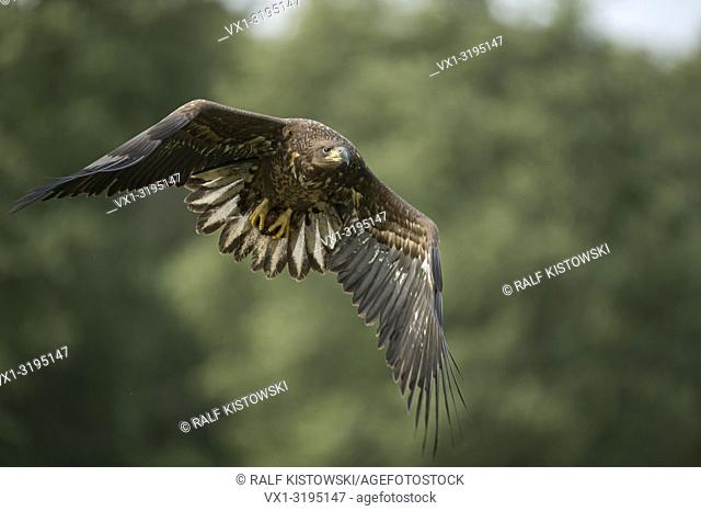 Subadult White-tailed Eagle / Sea Eagle (Haliaeetus albicilla) with prey in its talons, direct flight, in front of blurred edge of a forest