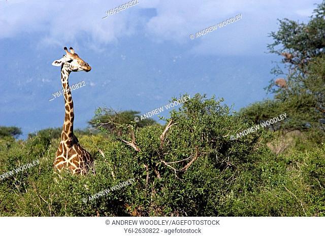 Giraffe in bush Tsavo East National Park Kenya