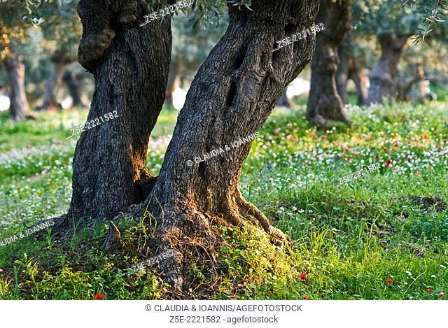 Aged olive tree
