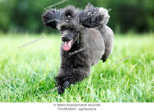 jumping Miniature Poodle