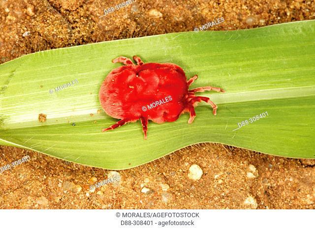 Velvet Mite (Dinothrombium spp.)