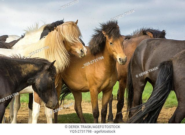 Icelandic horses being pestered by Black Flies, near Bryggja, Iceland, South West Iceland, Golden Circle tour, Evolved from ponies taken to Iceland in the 9th...