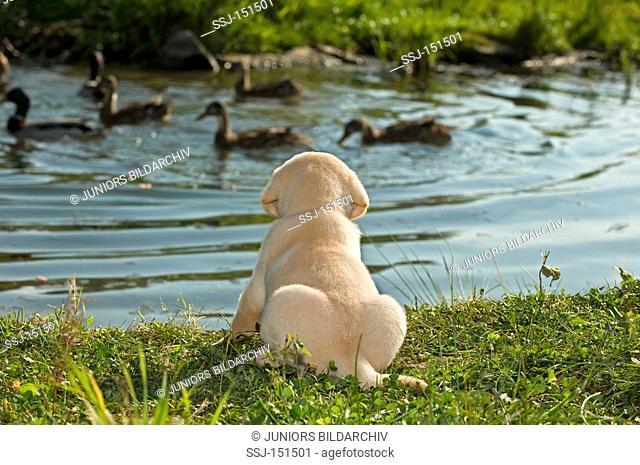 Labrador Retriever dog - puppy at the shore restrictions: animal guidebooks, calendars