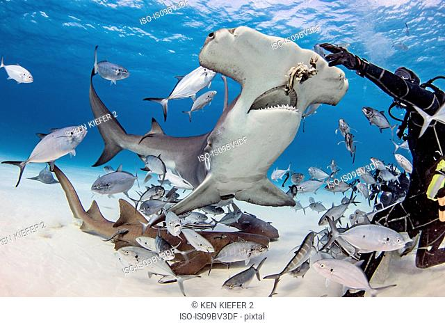 Diver feeding great hammerhead shark and fishes underwater, Alice Town, Bimini, Bahamas