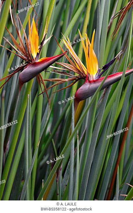 crane flower, bird of paradise flower, geel piesang (Strelitzia reginae), bush with blossom, South Africa