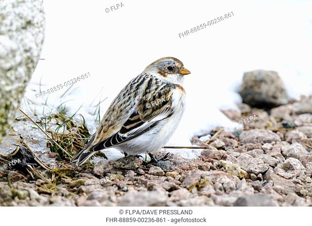 Snow bunting (Plectrophenax nivalis), adult female standing on a patch of gravel on Mount Cairngorm in the Cairngorms National Park, Scotland. March