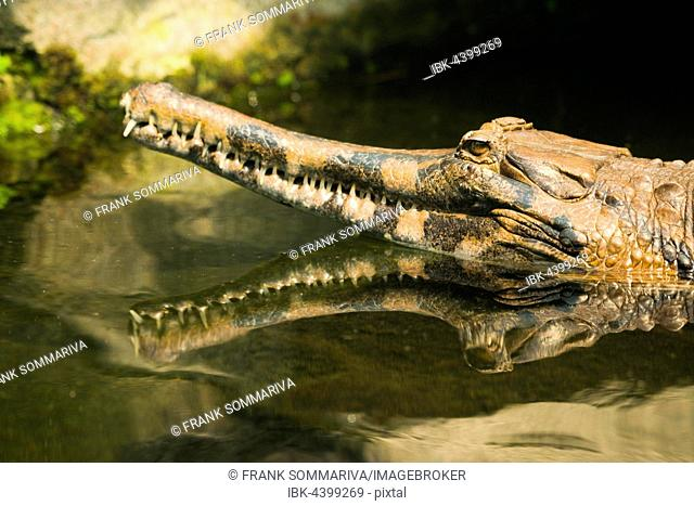 False gharial (Tomistoma schlegelii) in the water, portrait, with reflection, captive