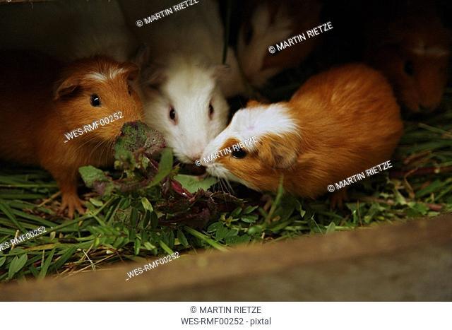 Ecuador, Hacienda Manteles, Guinea pigs Cavia aperea