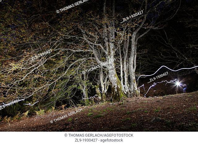 Old Growth Beech Forest, La Pedrosa, Riaza, Segovia, Spain