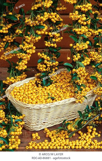 Firethorn basket with berries Pyracantha coccinea