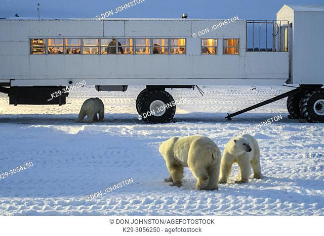 Polar Bear (Ursus maritimus) Individuals attracted to Frontiers North Cape Churchill lodge, Wapusk NP, Cape Churchill, Manitoba, Canada