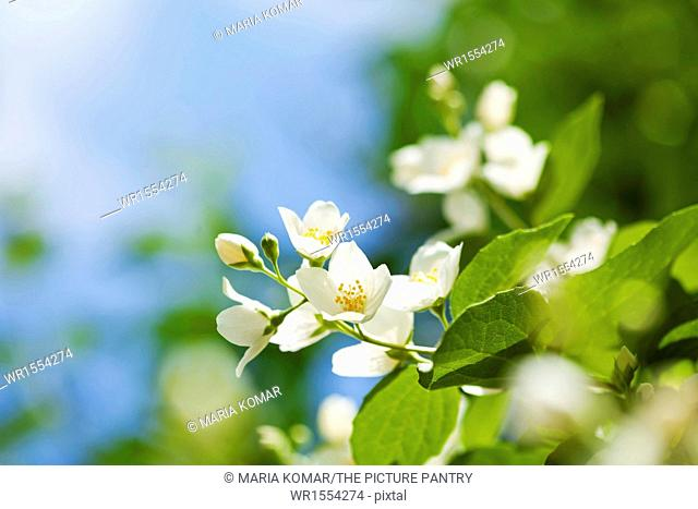 Beautiful fresh jasmine flowers in the garden, macro photography