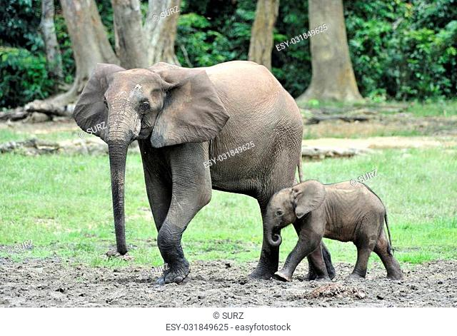 The elephant calf and elephant cow The African Forest Elephant, Loxodonta africana cyclotis. At the Dzanga saline (a forest clearing) Central African Republic