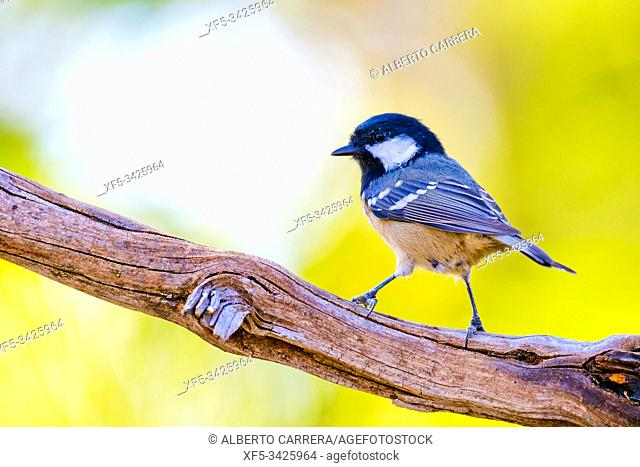 Great Tit, Parus major, Carbonero Común, Castilla y León, Spain, Europe