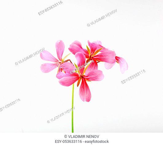 Geranium Pelargonium Flowers Isolated On White Background
