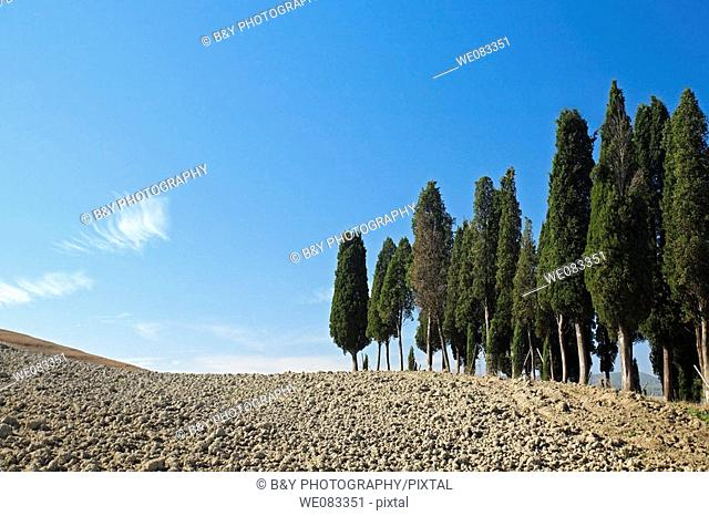 Cypress Trees, San Quirico d'Orcia, Tuscany, Italy