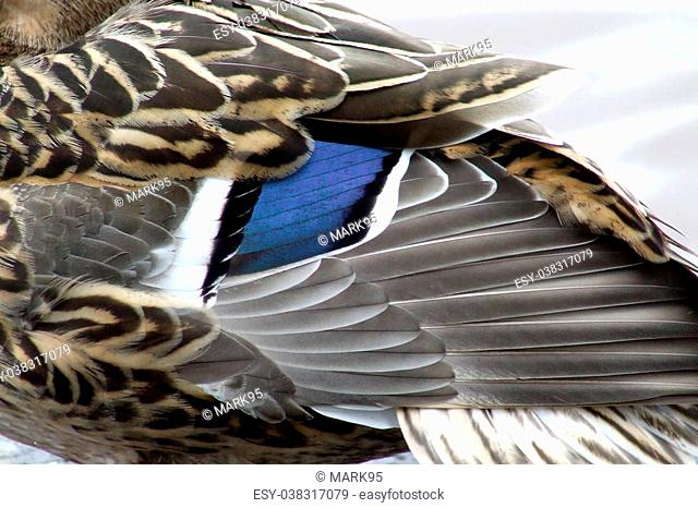 Femail Mallard wings showing the blue feathers