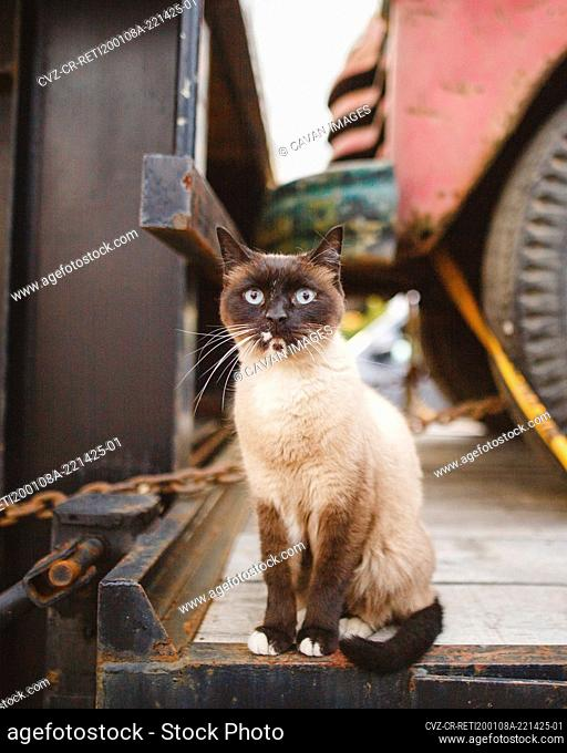 A blue-eyed siamese cat sits in a truck bed with direct gaze