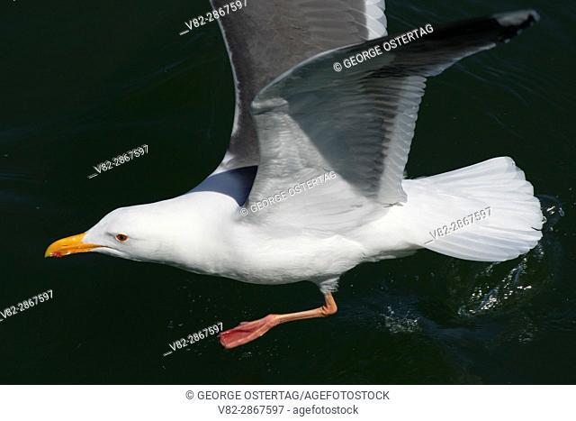 Gull from Fishing Pier, Port of Newport, Newport, Oregon