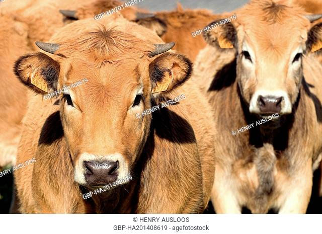 France, Aubrac, Bos taurus, Cattle