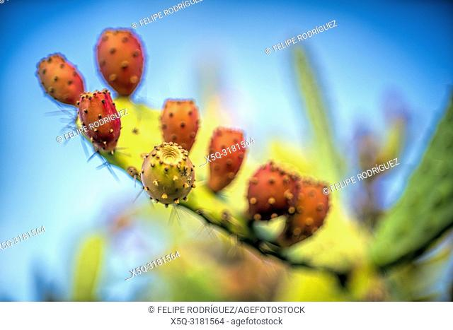 Prickly pear close-up, Spain
