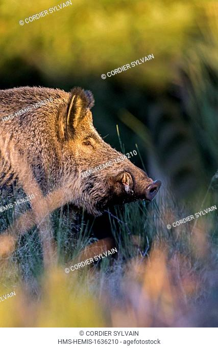 France, Haute Saone, Private park, Wild Boar (Sus scrofa)