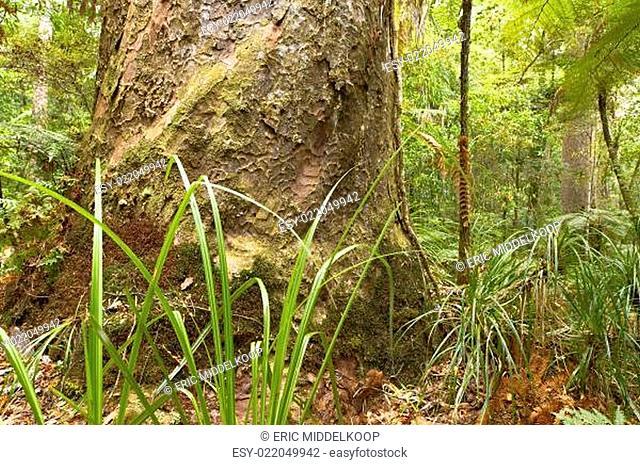Kauri trunk