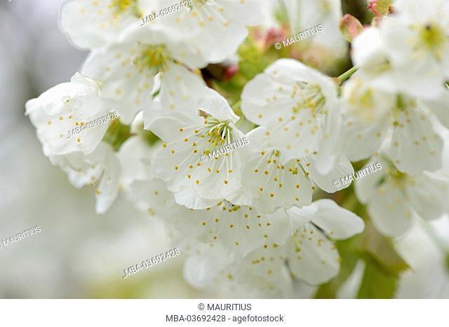 wild cherry, Prunus avium subsp. Duracina, blossom, spring