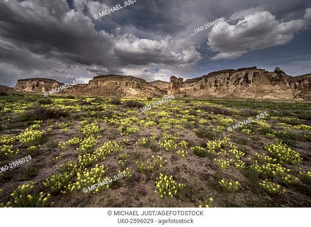 Spring flowers bloom at Wahweap Creek near Big Water, Utah