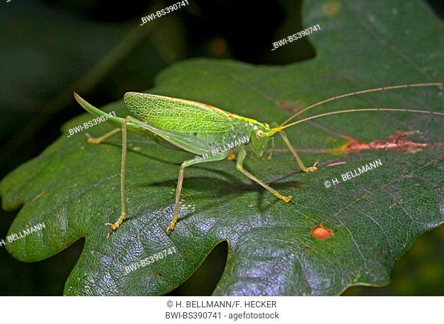 Oak bushcricket, Drumming katydid (Meconema thalassinum, Meconema varium), female sitting on an oak leaf, Germany