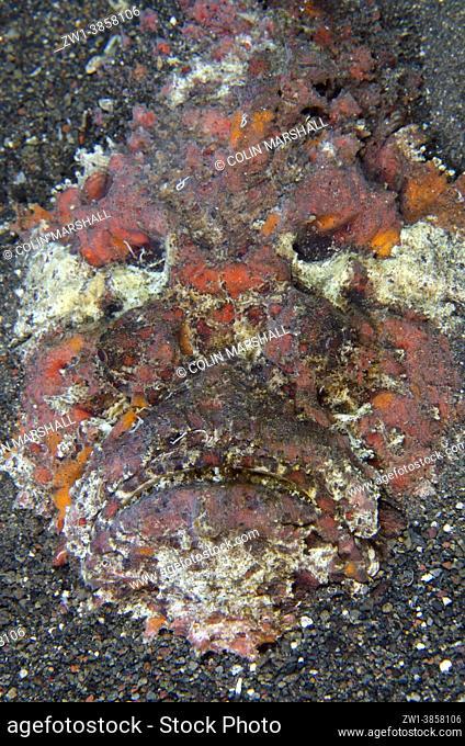 Reef Stonefish (Synanceia verrucosa) buried in sand, Pyramids dive site, Amed, Karangasem Regency, Bali, Indonesia, Indian Ocean