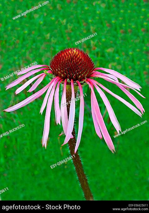 Blasser Sonnenhut, Echinacea pallida, Heilpflanzen