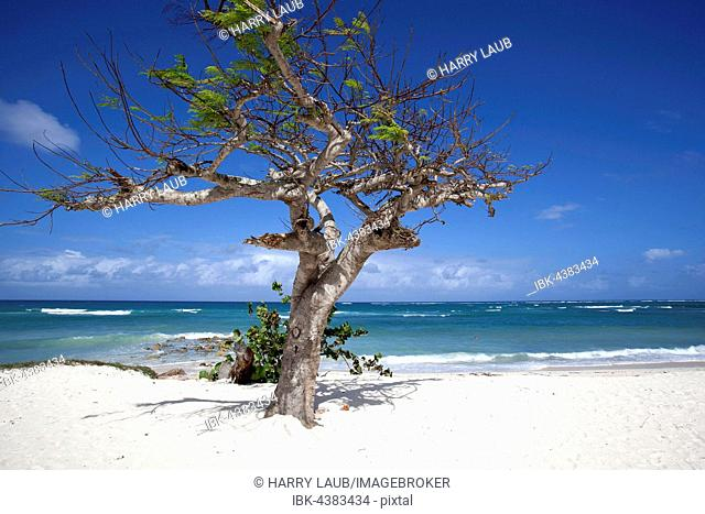 Cristal blue sea and a wind swept tree at Playa Guardalavaca beach, Holguín Province, Cuba